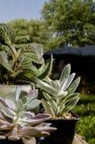 Succulents auf Klotz mit blauem Himmel Stockfotografie