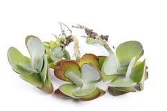 Succulents avec des racines Photographie stock libre de droits