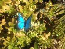 Succulents butterfly. Blue butterfly plants garden bed Royalty Free Stock Photos