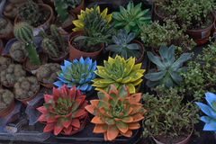 Succulents and cacti in pots Royalty Free Stock Images