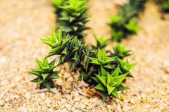 Succulents of cacti on sandy soil. The trend of cactus concept.  royalty free stock photography