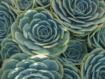 Succulents Stock Photography