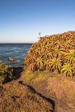 Succulents on the coast of Monterey, California Royalty Free Stock Image