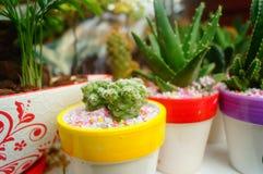 Columnar cactus succulents. Succulents columnar cactus in the flower shop sale stock photography
