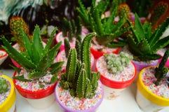 Columnar cactus succulents. Succulents columnar cactus in the flower shop sale stock photo