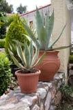 Succulents conservati in vaso Fotografie Stock