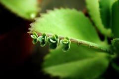 Succulents de chéri Photos libres de droits