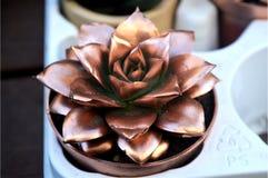 Succulents del color de bronce imagen de archivo libre de regalías
