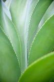 Succulents della spina Fotografie Stock