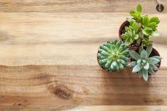 Succulents en fondo de madera fotografía de archivo libre de regalías