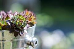 Succulents en pote del metal foto de archivo libre de regalías