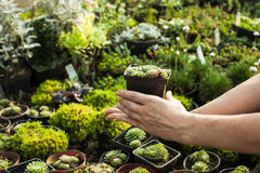 The Succulents in the flower market Stock Photography