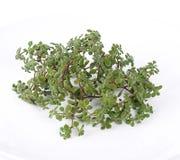 Succulents frais Image libre de droits