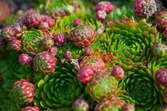 Succulents in the garden close-up Royalty Free Stock Photos
