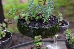 Succulents in glazen Royalty-vrije Stock Foto
