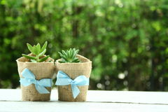 Succulents on green bokeh background. Two succulents wallpaper Stock Image