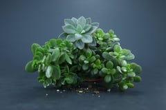 Succulents. Green succulent plants in a pot Stock Photos