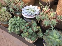 Some cute succulents in flower pot for sale. Succulents growing in flower pot for sale stock images