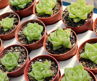 Succulents inside a greenhouse Royalty Free Stock Photos