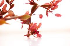 Succulents, Kaktus, Schmetterlings-Tanz, Laub-Anlagen, rosa Blumen, Lizenzfreies Stockfoto