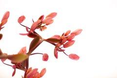 Succulents, Kaktus, Schmetterlings-Tanz, Laub-Anlagen, rosa Blumen, Stockbilder