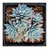 Succulents Stock Images