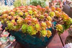 Succulents Lotus Royalty Free Stock Photos