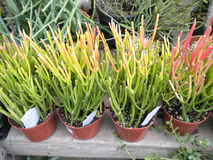 Succulents oder Kakteen Lizenzfreie Stockfotos