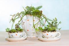 Succulents plantés dans des tasses et le pot de coffe Photographie stock