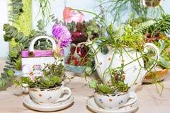Succulents plantés dans des tasses et le pot de coffe Image libre de droits
