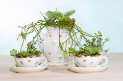 Succulents planted in cups and coffe pot Stock Photography
