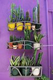 Succulents plants. Group of different succulents plants in colorful pots on violet background Stock Image