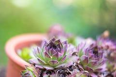 Succulents pourpres dans un pot dans le jardin photo libre de droits