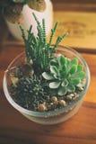 Succulents preciosos en bol de vidrio Fotos de archivo libres de regalías