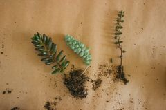 Transplanting plants into new pots royalty free stock photo