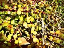 Succulents saturados Foto de archivo