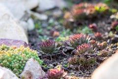 Succulents Sempervivum o piedra Rose o gallina y pollo y gree fotografía de archivo libre de regalías