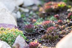 Succulents Sempervivum or Stone Rose or Hen and Chicken and green moss, beautiful frost-resistant plants with red tips in stock image