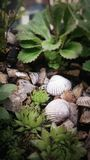 Succulents and shells Royalty Free Stock Image