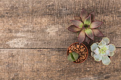 Succulents Royalty Free Stock Image