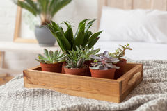 Succulents standing at the tray on grey quilt Royalty Free Stock Image