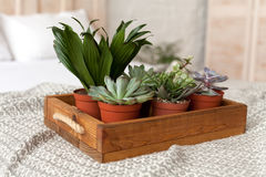 Succulents standing at the tray on grey quilt Stock Photography