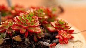 Succulents at sunset Royalty Free Stock Photography