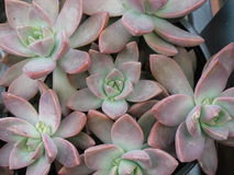 Succulents 8 Stock Photography