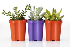Succulents Royalty Free Stock Images