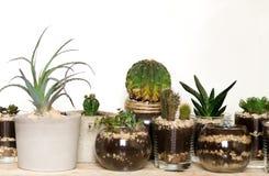 Succulents und Kaktus Innen Stockbilder