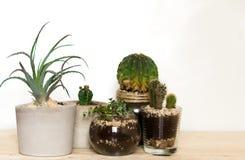 Succulents und Kaktus Innen Lizenzfreies Stockfoto