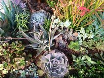Succulents. Variety aloe, cacti, fire sticks, etc. in bloom Stock Images