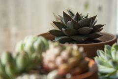 Succulents: various echeveria indoor plants in pots. Mix of beautiful succulents. Lifestyle image. Succulents: various echeveria indoor plants in pots. Mix of stock photos