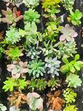 Succulents in watercolor Royalty Free Stock Photography
